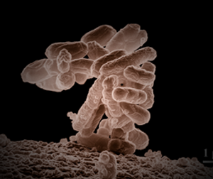 E-Coli indicates the presence of fecal matter